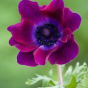 Papoila roxa 2